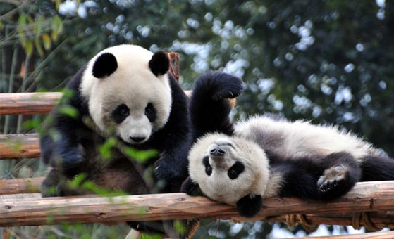 1 Day Chengdu Highlights Tour with Panda Base